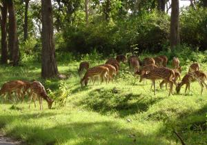 Group of deers - Mudumalai National Park