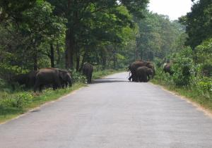 Wild Elephants crossing road - Mudumalai National Park