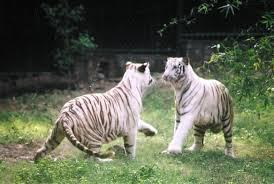 White tiger - National Zoological Park