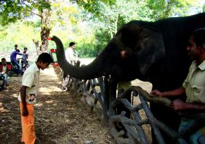Elephant giving well wishes - Sakrebailu Elephant Camp