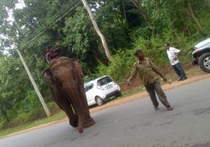 Elephant walking on Road - Sakrebailu Elephant Camp