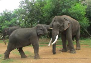 Elephants Playing - Sakrebailu Elephant Camp