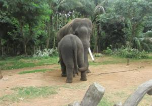 Elephants inside camp - Sakrebailu Elephant Camp